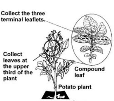 Leaf Sampling for Virus Testing